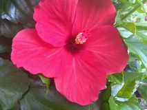 木槿红色花和叶子 免版税库存图片