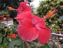 木槿红色花在庭院里 库存照片