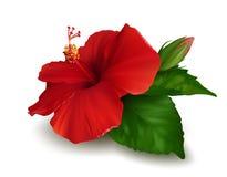木槿红色花在白色背景的 库存照片