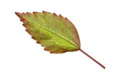 木槿罗莎在白色隔绝的sinensis叶子 库存图片