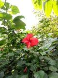 木槿罗莎- SINENSIS花 免版税库存图片