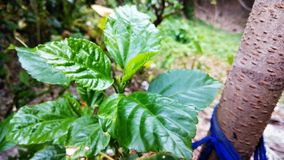 木槿罗莎sinensis美丽的绿色叶子  库存照片