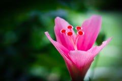 木槿罗莎sinensis 图库摄影