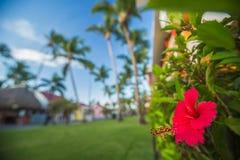 木槿花在热带庭院里 浅DOF 免版税库存图片