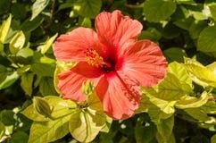木槿花在西班牙 库存照片