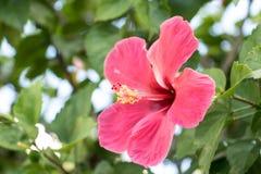 木槿花在非常美好的早晨 免版税库存照片