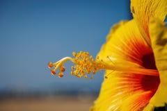 木槿花的雄芯花蕊和雌蕊 图库摄影