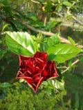 木槿花,一棵开花的红色木槿 库存图片