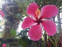 木槿花laef绿色在庭院里 库存照片