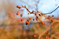 木槿莓果 库存照片