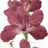 木槿 被按的干燥花无缝的样式纹理  免版税库存照片
