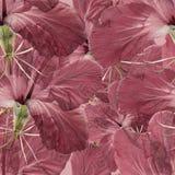 木槿 被按的干燥花无缝的样式纹理  免版税库存图片