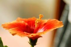木槿 库存图片