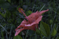 木槿 图库摄影
