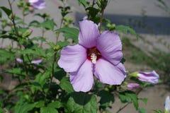 木槿syriacus华丽的桃红色花  免版税库存图片