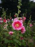 木槿syriacus花进展的活动在惨淡的天 库存照片