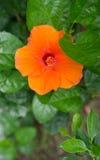 木槿syriacus,热带橙色花 库存图片