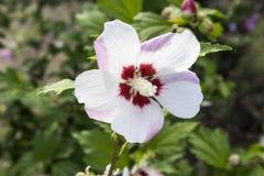 木槿syriacus `蒂尔德`白花 免版税库存照片