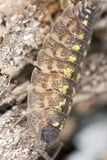 木潮虫的接近的极端 免版税库存图片