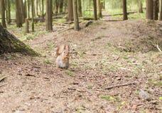 木灰鼠红色 库存照片