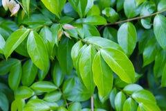 木犀属植物叶子(并且被命名当夹竹桃科木犀属植物或Parameria 库存图片