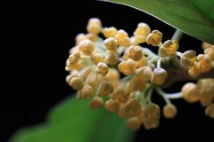 木犀属植物 图库摄影