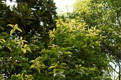 木犀属植物fragrans Thunb lour 库存照片