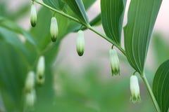 木玉竹。 库存照片