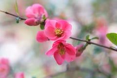 木瓜属 日本柑橘 春天桃红色花背景 免版税库存图片