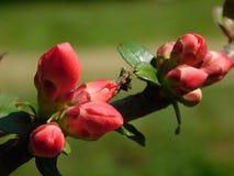木瓜属japonica的美丽的芽 库存图片