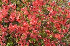 木瓜属japonica 库存照片