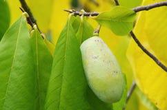 木瓜 免版税库存照片