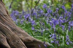 木的会开蓝色钟形花的草 库存图片
