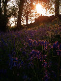 木的会开蓝色钟形花的草 免版税图库摄影