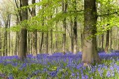 木的会开蓝色钟形花的草 库存照片