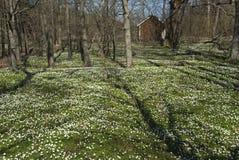 木的银莲花属 库存图片