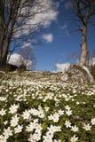 木的银莲花属 图库摄影
