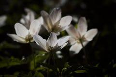 木的银莲花属 免版税图库摄影
