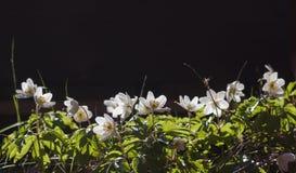 木的银莲花属 免版税库存图片
