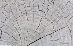 木短剖面纹理 免版税库存照片