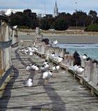 木码头的海鸥 免版税库存照片