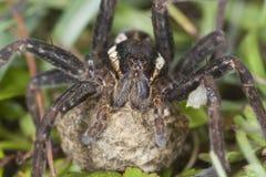 木筏蜘蛛, Dolomedes fimbriatus 免版税库存图片