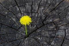 木纹理用黄色蒲公英 库存照片