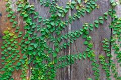 木纹理背景,与绿色叶子的老木纹理 库存图片