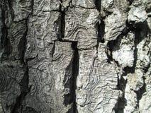 木纹理 吠声近景结构树 免版税库存照片