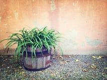 木罐的绿色植物在老墙壁附近 图库摄影