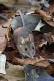 木老鼠(姬鼠属Sylvaticus) 库存图片