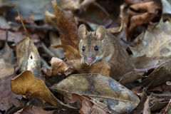 木老鼠(姬鼠属Sylvaticus) 免版税库存照片