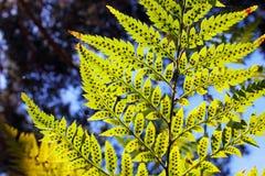 木蕨叶子  库存图片
