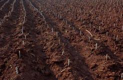 木薯农场 免版税库存照片
